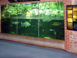 South East Asian fish in the aquarium at Bristol Zoo, Bristol, England. The tank is about 2 metres (6 feet) high.