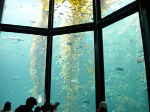 A 335,000 U.S. gallon (1.3 million liter) aquarium at the Monterey Bay Aquarium in California displaying a simulated kelp forest ecosystem