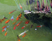 Koi have been kept in decorative ponds for centuries in China and Japan.
