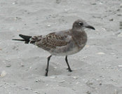 A juvenile Laughing Gull on the beach at Atlantic City.