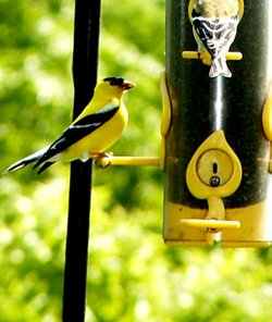 A pole hung bird feeder with a American Goldfinch.