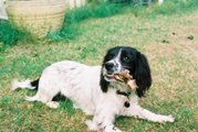 This English Springer Spaniel is enjoying a bone.