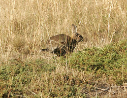 The bane of Australian farmers - the wild rabbit