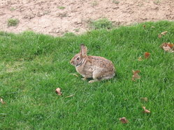 A Wild Rabbit sitting in the United States