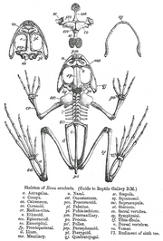 Skeleton of Rana